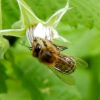 Пчела-труженица :: Валентина Пирогова