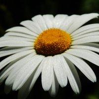 Сияние белых лепестков :: Валентина Пирогова
