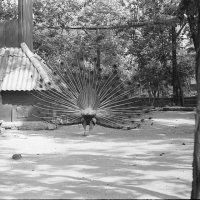 Харьков. Зоопарк.  1963 :: Олег Афанасьевич Сергеев