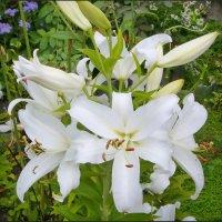 Белоснежные лилии :: lady v.ekaterina