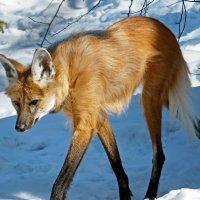 Гривистый волк :: Александр Запылёнов