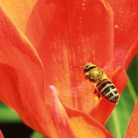 пчела в работе :: Sergey Koltsov