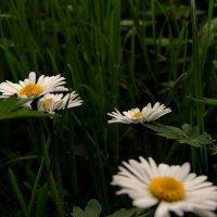 Цветы :: Роман Савоцкий