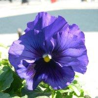 Viola tricolor 2 :: Андрей Lactarius