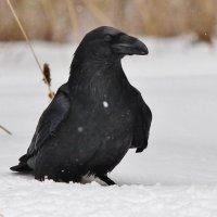 Чёрный ворон :: Сергей