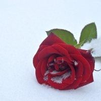 Роза на снегу :: Юрий Захаров
