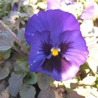 Viola tricolor 6 :: Андрей Lactarius