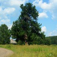 деревня , сосна :: Александр