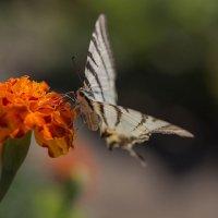 В прекрасном мире цветов и бабочек :: Елена Ахромеева