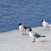 Любимые многими птички :: Leonid Voropaev