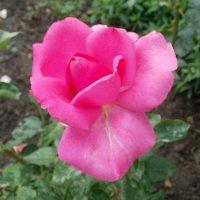 Пурпурная роза :: Марина Чайкина