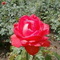 Рубиновая роза :: Марина Чайкина