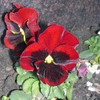 Viola tricolor 15 :: Андрей Lactarius