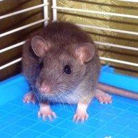 Маленький испуганный мышонок :: Ирина Via
