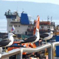 Суровые чайки Владивостока :: Юрий