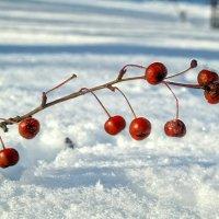 Про зимние плоды.. :: Андрей Заломленков
