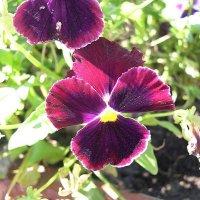 Viola tricolor 25 :: Андрей Lactarius