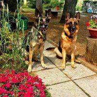 Собаки  моих  внуков  Дина и Бриска... :: backareva.irina Бакарева