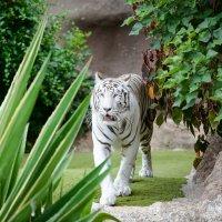 белый тигр :: Viktor Schwindt