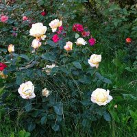 Розы в саду :: Милешкин Владимир Алексеевич