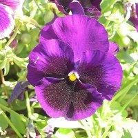 Viola tricolor 23 :: Андрей Lactarius