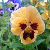 Viola tricolor 29 :: Андрей Lactarius