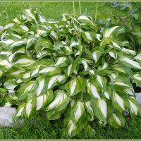 Хоста в саду :: lady v.ekaterina