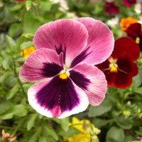 Viola tricolor 32 :: Андрей Lactarius