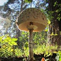 Мухомор толстый  Amanita spissa или высокий :: lenrouz