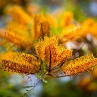 Гревиллея крупная (лат. Grevillea robusta) :: Александр Григорьев
