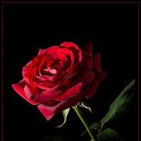 """Роза в стиле """"Кармен"""" :: Борис Ряузов"""