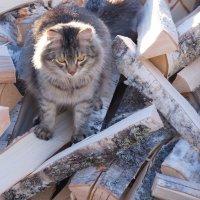 Портрет кота на фоне дров :: Sergey Chelishev