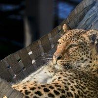 Леопард :: олег