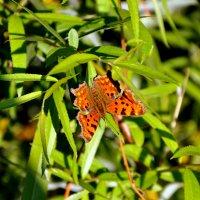 Бабочка :: Римма Закирова
