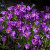 Первоцветы :: Elena Ignatova