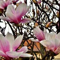 Цветут Магнолии - цветёт моя Душа!.... :: backareva.irina Бакарева