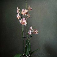 орхидея :: Елена Татульян
