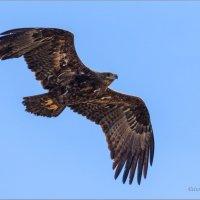 Степной орёл :: Анна Солисия Голубева