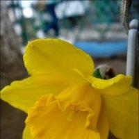 Нарцисс из нашего двора :: Нина Корешкова