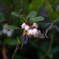 Брусничник цветет... :: Валентина Харламова