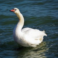 Белый лебедь :: Ольга (crim41evp)