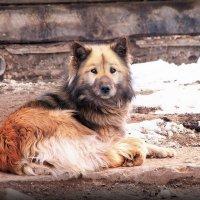 Собакен..разморило..лаять лень.. :: Александр Шимохин