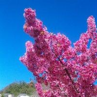 Сакура в цвету :: Герович Лилия