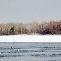 Лебеди-кликуны :: Олег Афанасьевич Сергеев