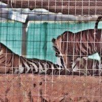 Тигры :: Лариса