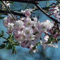 сакура цветет :: юрий иванов