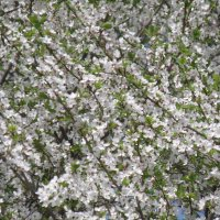 Цветущая вишня :: Виктория (Чечевика) Шаповал