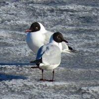 Чайки на заливе :: Светлана