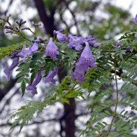жакаранда — фиалковое дерево :: Татьяна Ларионова