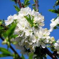 Всё цветёт и пахнет. :: Вячеслав Медведев